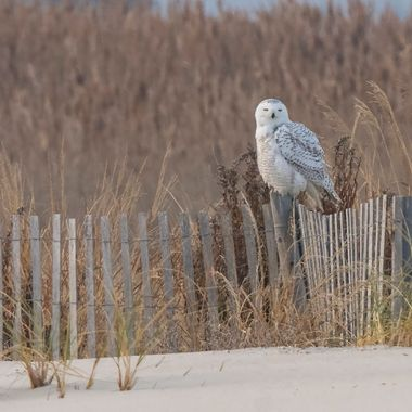 Finally got to see and photograph my first snowy owl