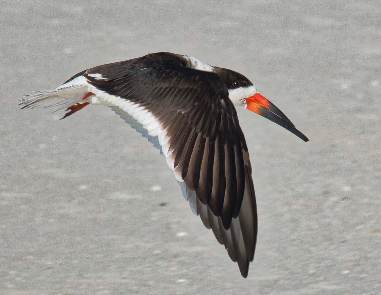 The very odd (for many reasons) Black Skimmer.  Note lower bill is longer than upper bill and the somewhat detached lower bill from the body.  This allows the bird to skim the water to scoop up fish and other food.  See photo  in my Gallery of the Black Skimmer in action.  Photo was taken on Siesta Key beach.