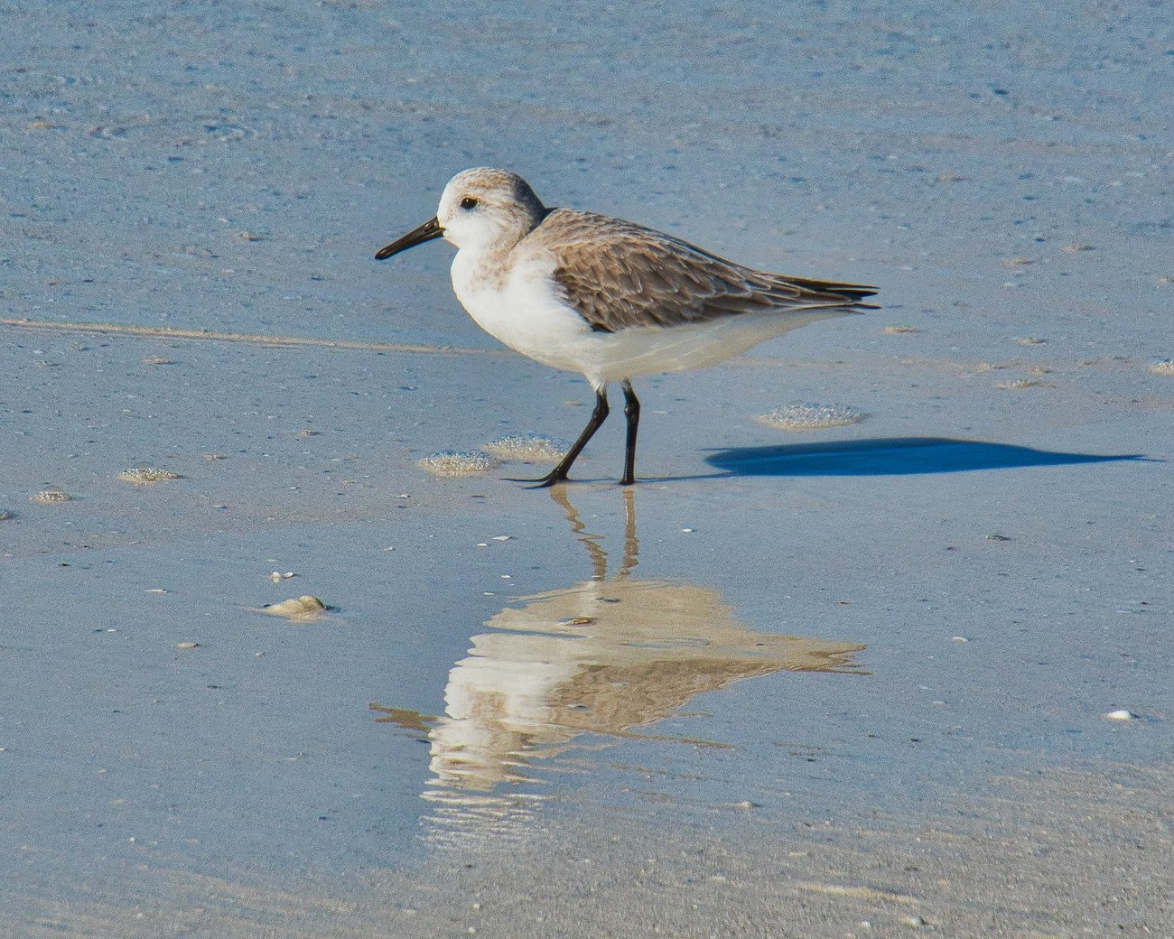 Sanderling, a small sandpiper in winter plumage.  Note differences between this bird and the Least Sandpiper previously posted in my Gallery.  Photo taken on Siesta Key beach