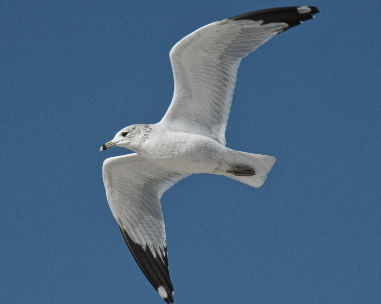 Ring-billed Gull, widespread and abundantly found throughout the lower half of the US and south.  Photo taken on Siesta Key beach.