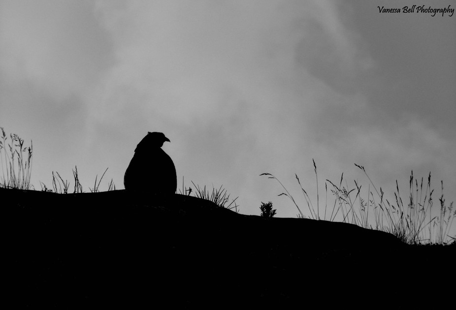 Pheasant Silhouette