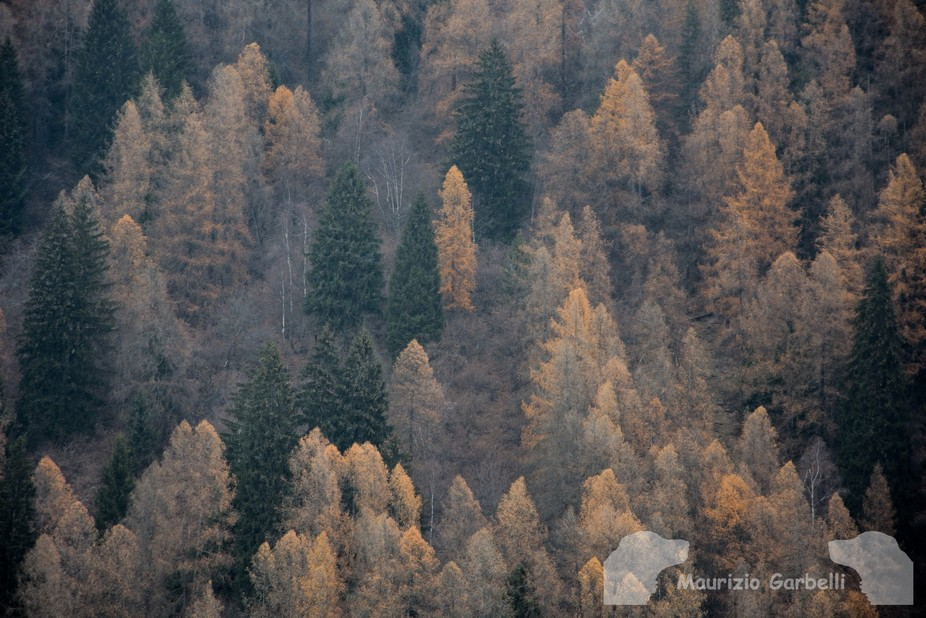 Dolomites pine trees and larches