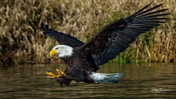 Swoop by kathyvid - Majestic Eagles Photo Contest
