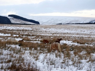 Wild ponies on the Brecon Beacons in Winter