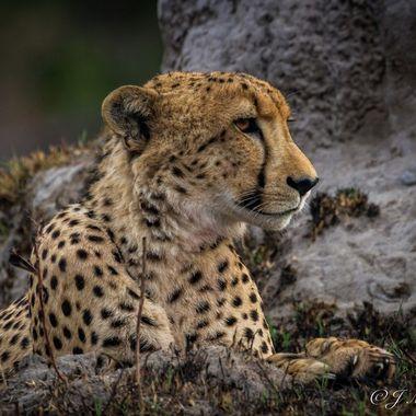 A Patient Cheetah