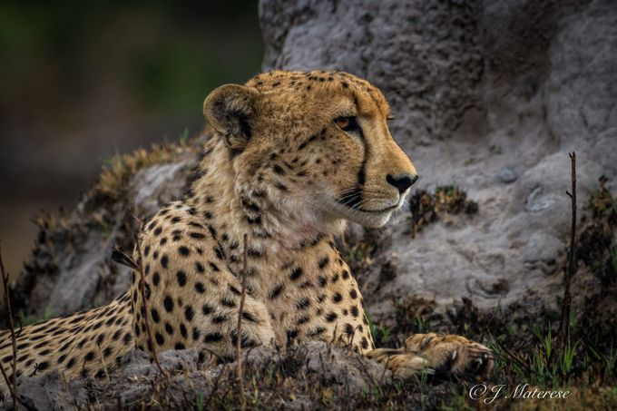 A Patient Cheetah