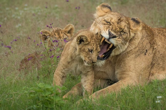 Lioness with cubs by vladcech - Wildlife Families Photo Contest