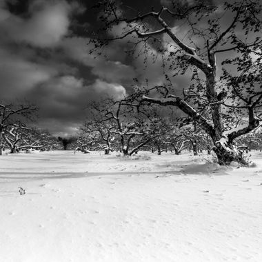 Chazy New York is home to the largest McIntosh Apple Orchard in the world.  I was up to my knees in snow to get these photos but it was worth it.