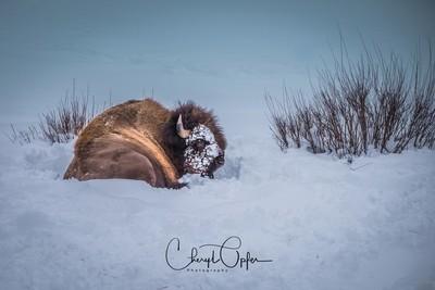Snow face buffalo