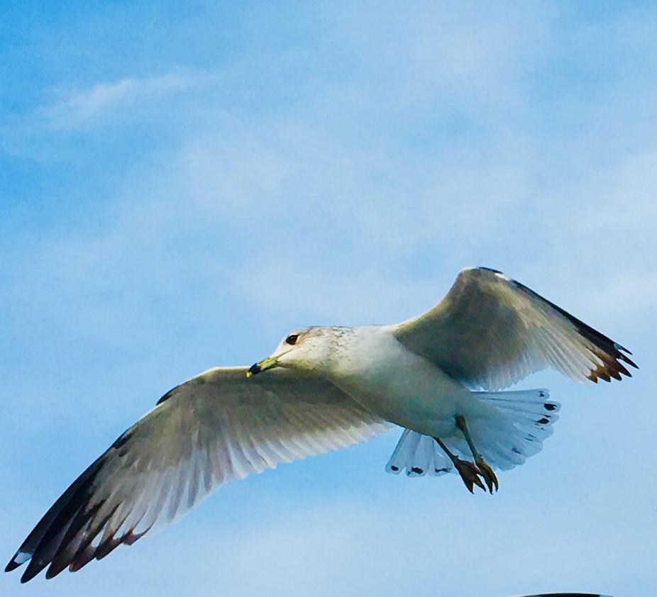 Xmas seagull '17