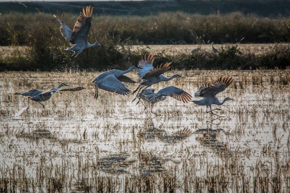 Sandhill Cranes taking off in a flooded rice field.