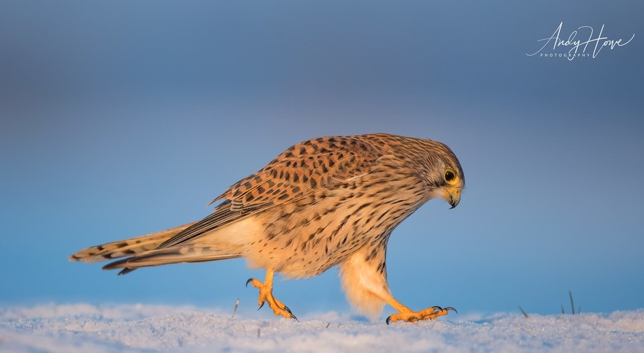 Female Kestrel running