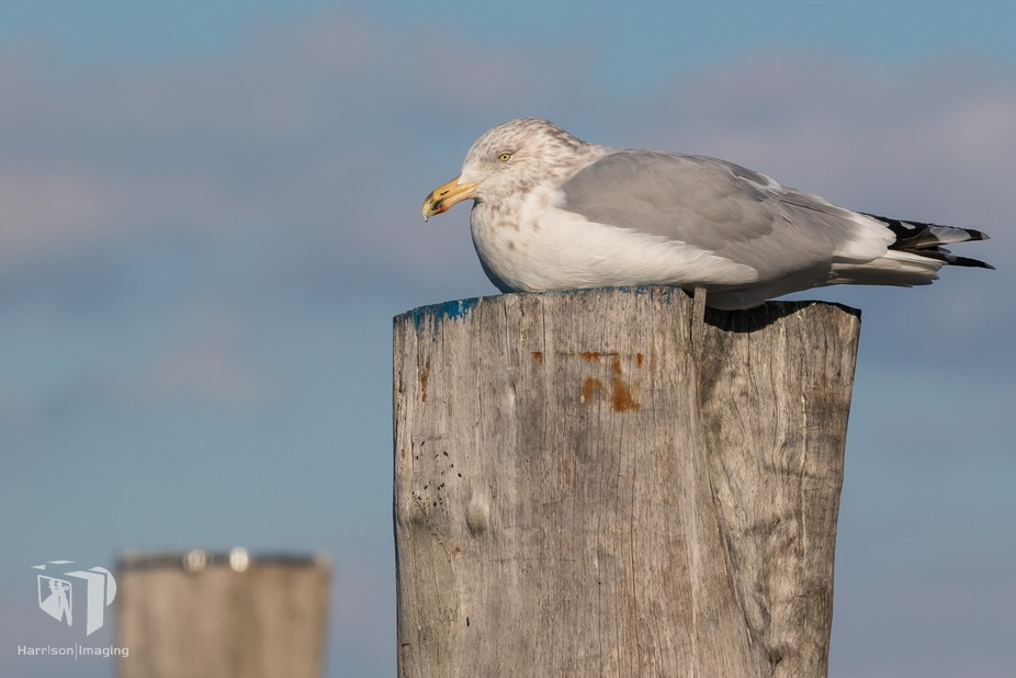This gull was grabbing some of the last sun for the day.  Ambient temp was about 8F and much cold...