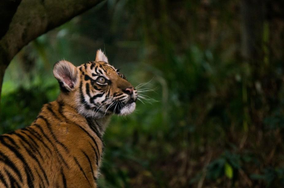 A Sumatran Tiger cub at ZSL London Zoo.