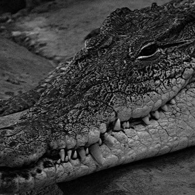 #crocodile #photography #photographer #photograph #photo #blackandwhitephotos