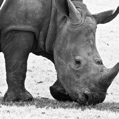 #rhino #photography #photo #photograph #blackandwhitephotos