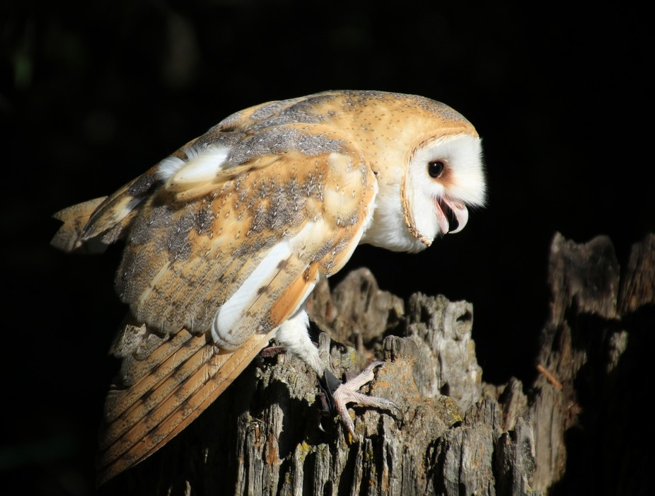 Barn Owl About To Take Flight