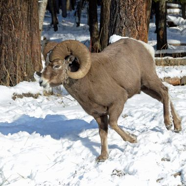Bighorn on the Run!