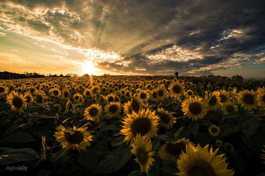 Took this shot while walking through a sunflower field in late summer using a wide angle and a Ni...