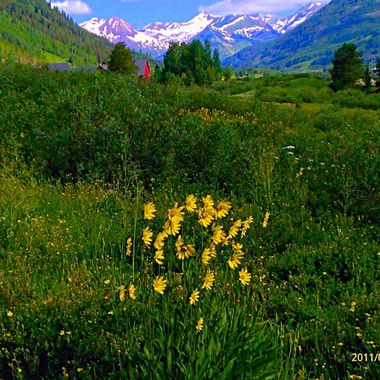 Amazing wildflowers in Crested Butte, Colorado with scenic snowcaps as a backdrop!