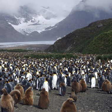 Huge King Penguin colony on an Antarctic Island!