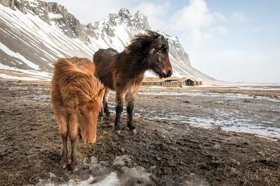 Hearty Horses