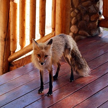 Fox on front porch!