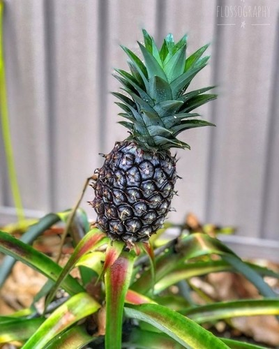 You know you're in Queensland when there's a pineapple growing in the backyard!! #pineapple #backyard #homegrown #Hey_ihadtosnapthat #globalphotofest #australiagram #focusaustralia #ig_discover_australia #australia_shotz #ig_down_under #ig_creativephotogr