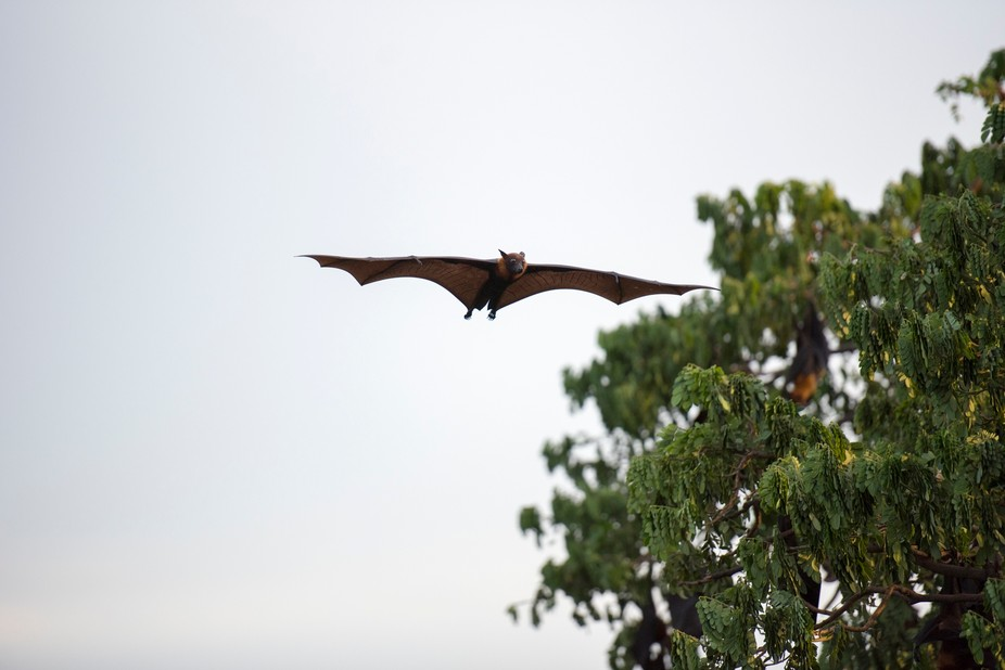 We were looking for the Giant Foxbats in Thailand, and eventually found them. Amazing creatures!