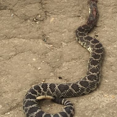 Southern Pacific Rattlesnake!