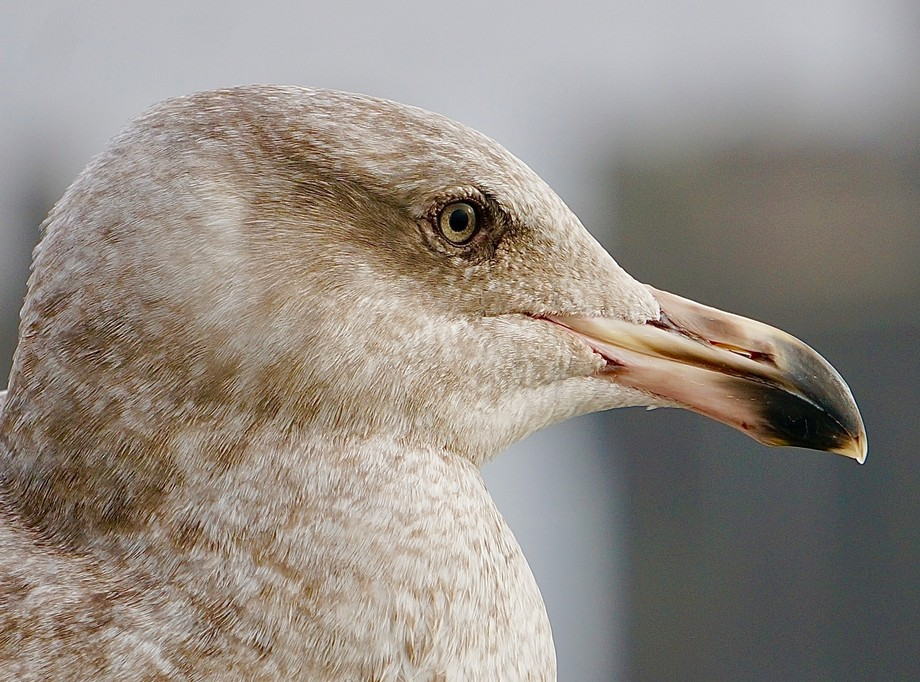 Just an ordinary seagull up close