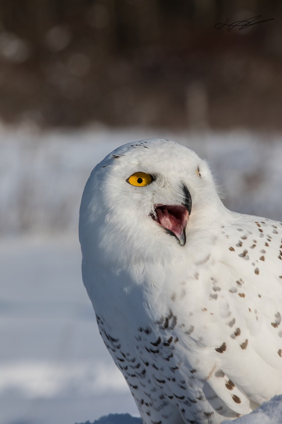 8 Year Old Male Snowy Owl by jackwstarret - Winter Wildlife Photo Contest