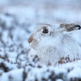 Mountain Hare blending in with the wintry conditions of its surroundings in the Scottish Highlands.These are one of the Hardiest wildlife Scotlan...