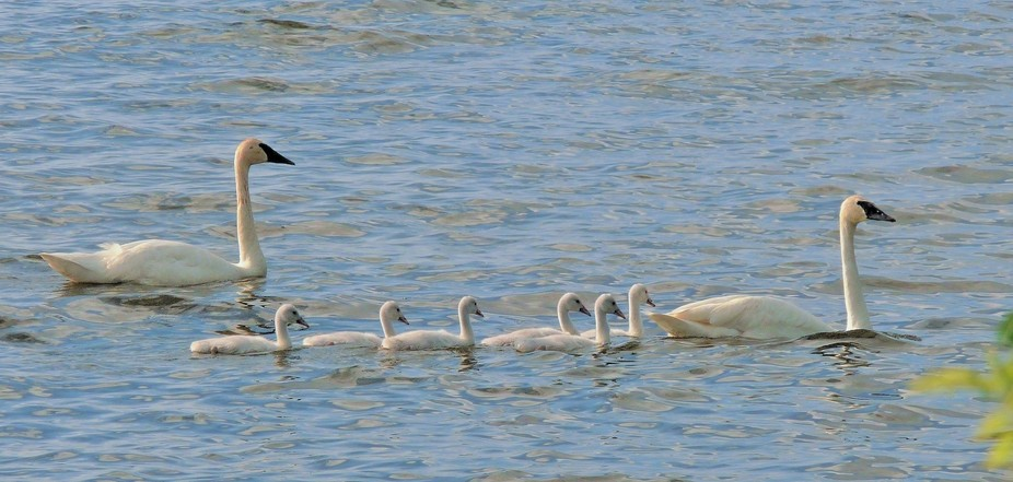 Trumpeter Swans teacher their babies about life and surviving,