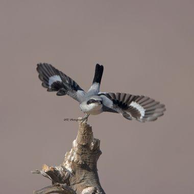 Loggerhead Shrike IMG_0317