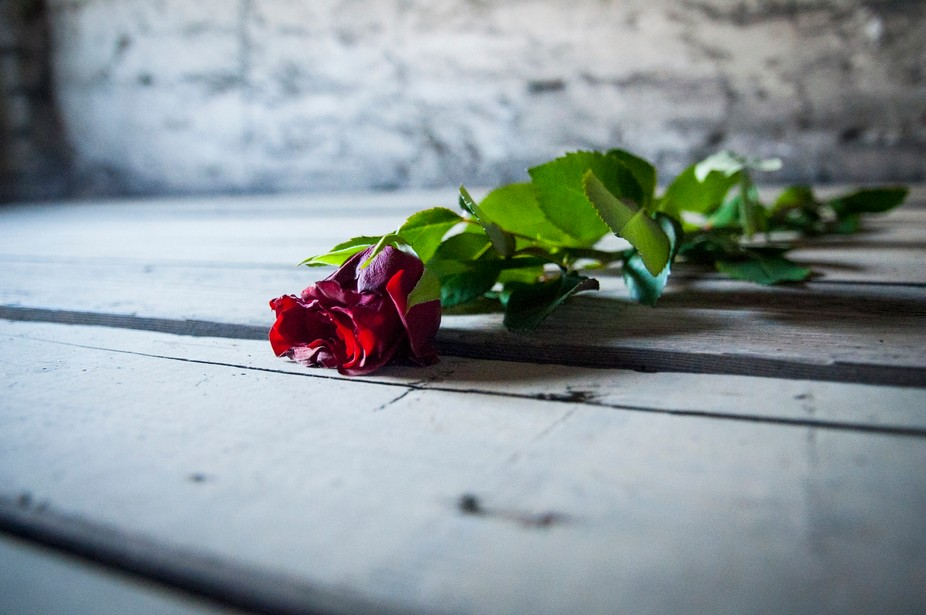 A single red rose laid on what would have been a sleeping place for children at Birkenau Death Ca...