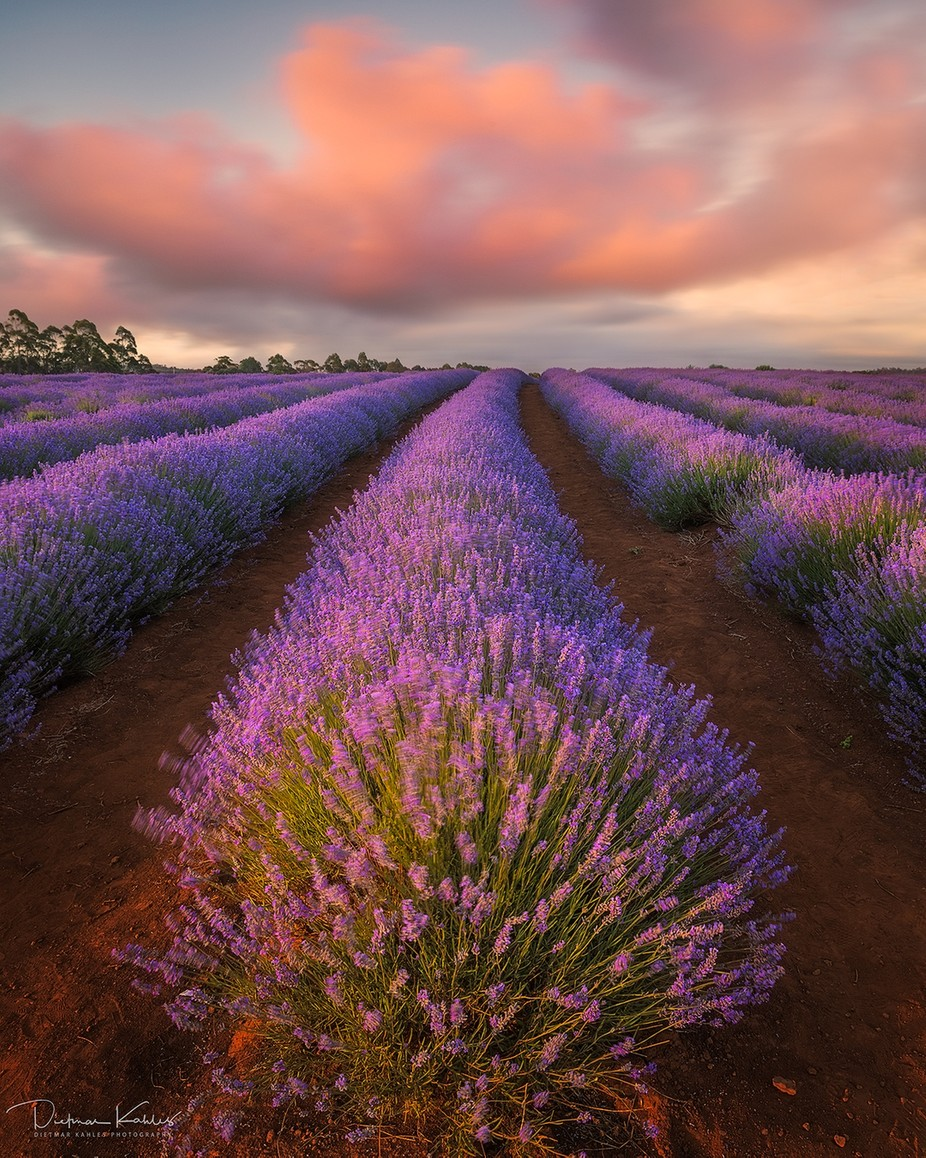 Lavender dreams by lake_of_tranquility - Pastel Colors Photo Contest