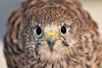 Eurasian Kestrel focused intent