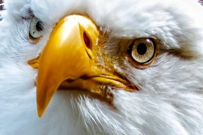 1H4A1031eccc  Eagle