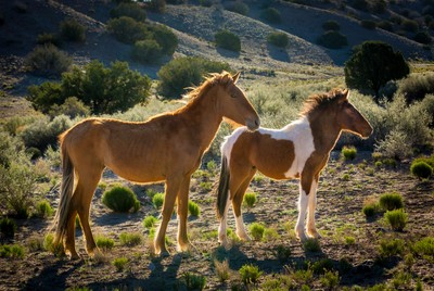 Pinto Colt and Mare
