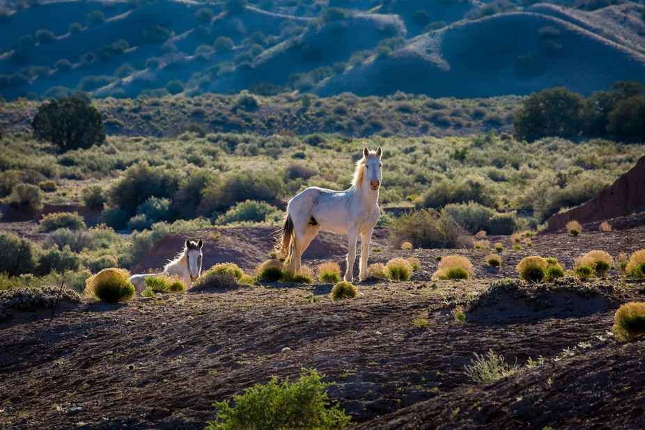 Young white stallion in the early morning light on Mustang Mesa