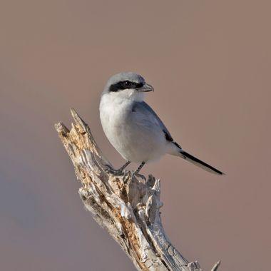 Loggerhead Shrike IMG_0275