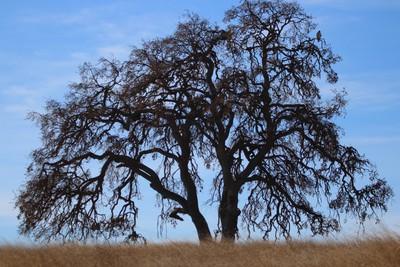 The Big Old Oak Tree