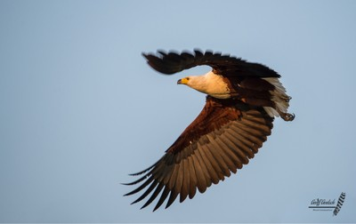African Fish Eagle taking off to go search for breakfast.