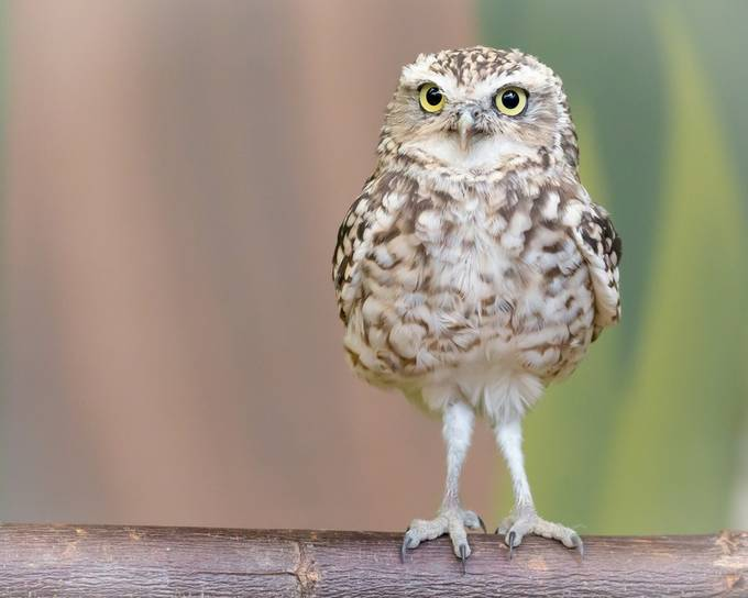 Burrowing owl by radovanzierik - Only Owls Photo Contest