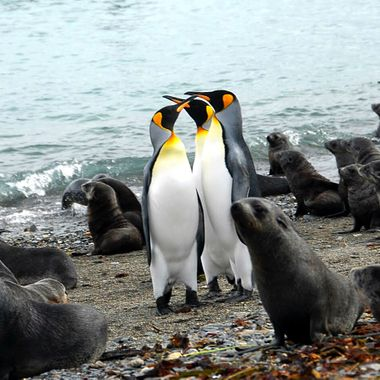 Fur seal and King penguin greeting on a wet landing in the Antarctic!