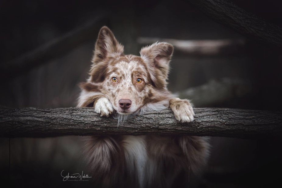 Australian Shepherd boy Mailo