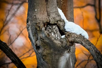 Screech Owl at Sunset