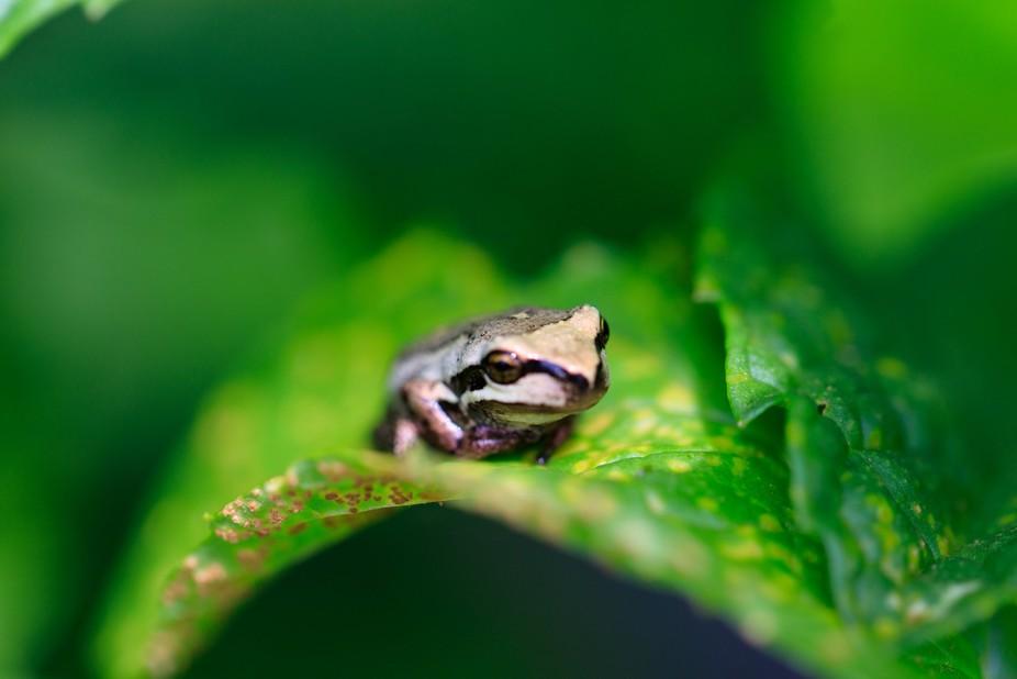 NZ Treefrog