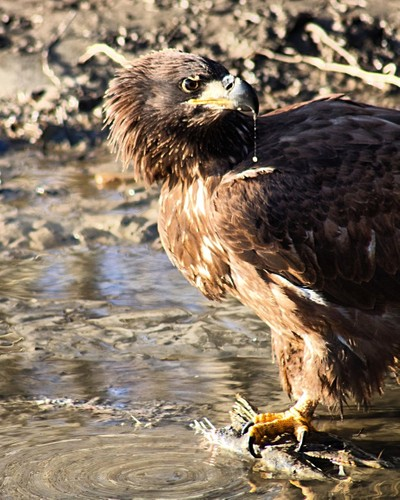 Eagle feeding on the side of river !